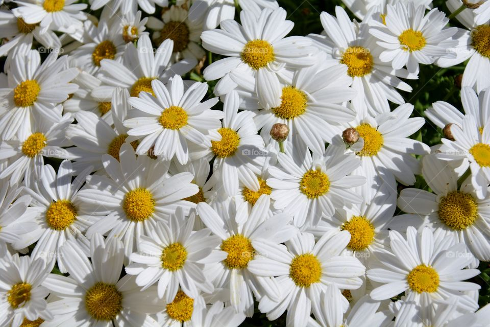 a lot of daisies in a sunny day