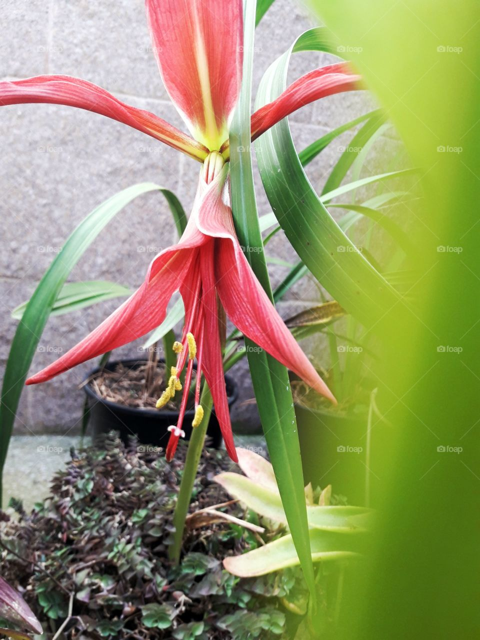 exotic spring red flower with inusual shapes and other plants