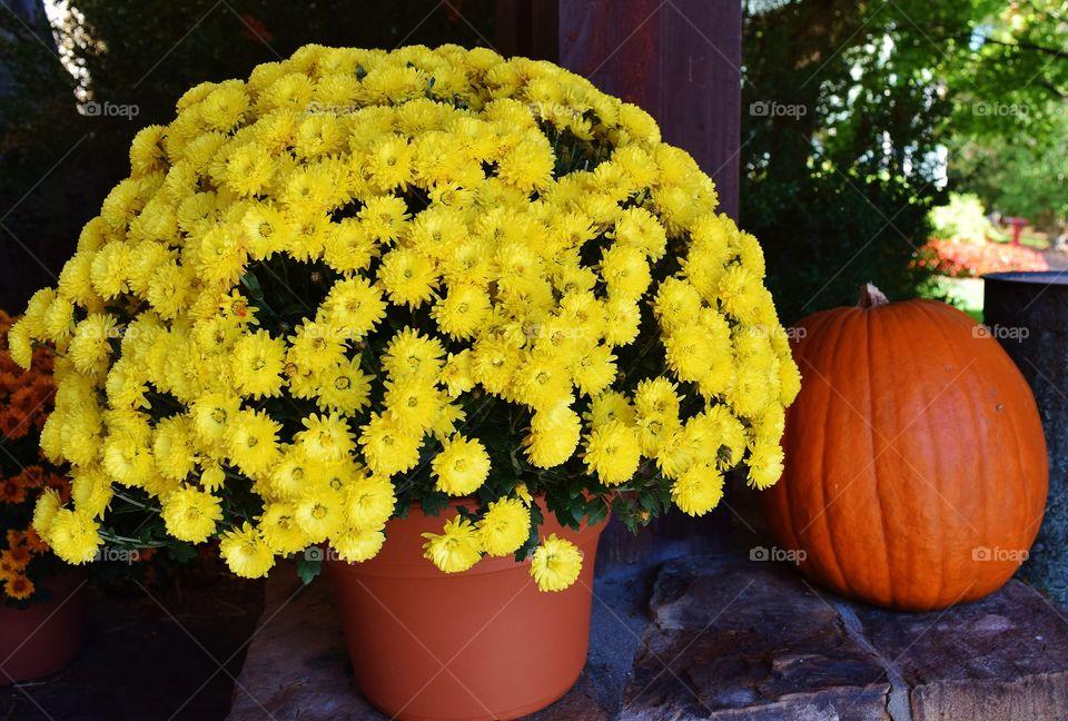 Chrysanthemums with pumpkin