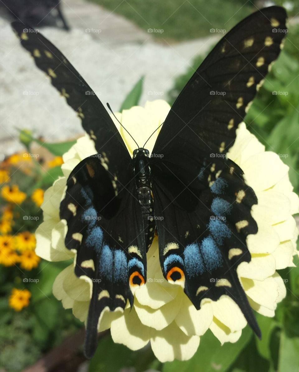 black swallowtail & yellow zinnia