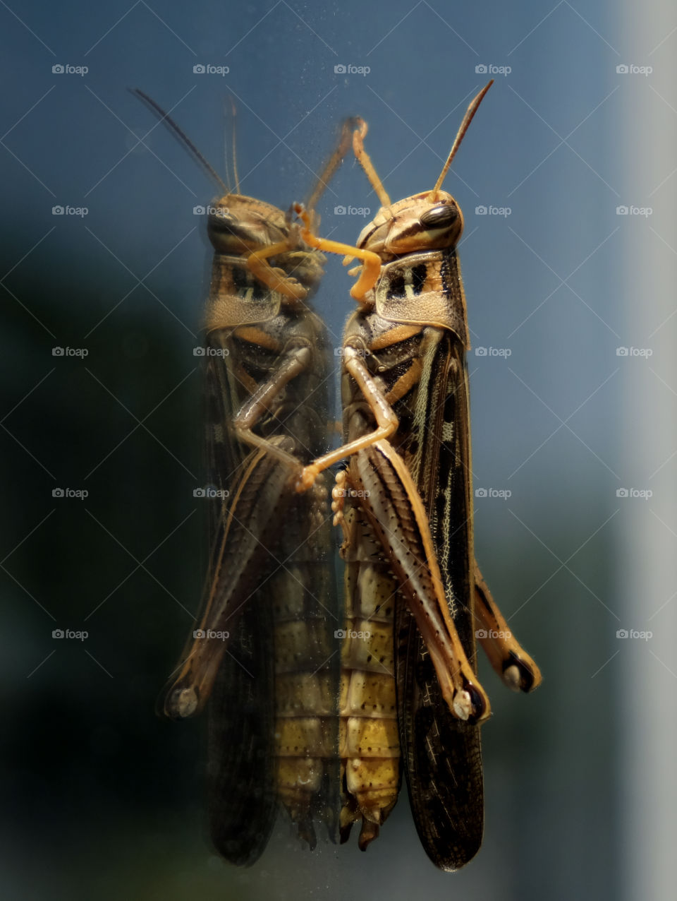A large birdwing or bird grasshopper peering in a window, with its reflection looking back. Raleigh North Carolina.