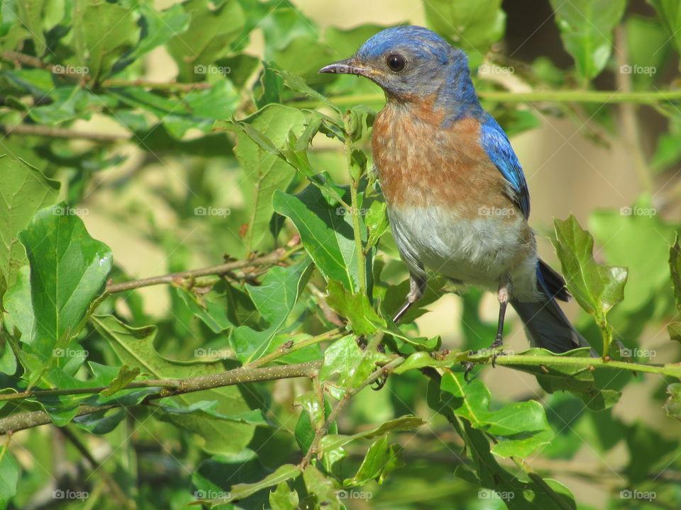 Eastern Bluebird in an oak tree