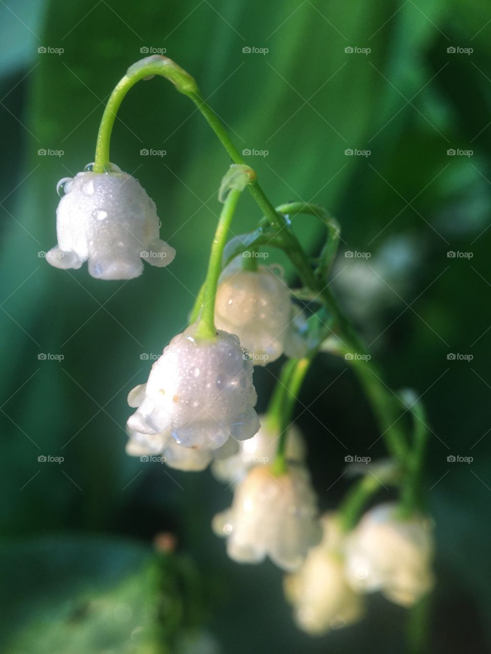 White Bells in the Dew