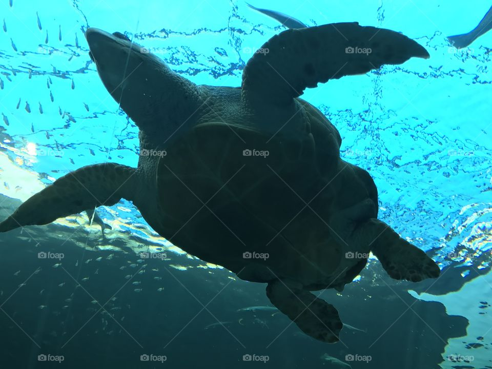 Seaturtles are graceful creatures. This special one was captured at the Two Oceans aquarium in Cape Town
