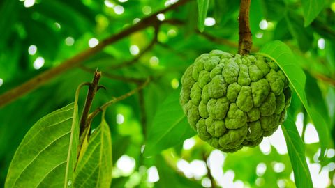 Green custard apple on the tree in the backyard.