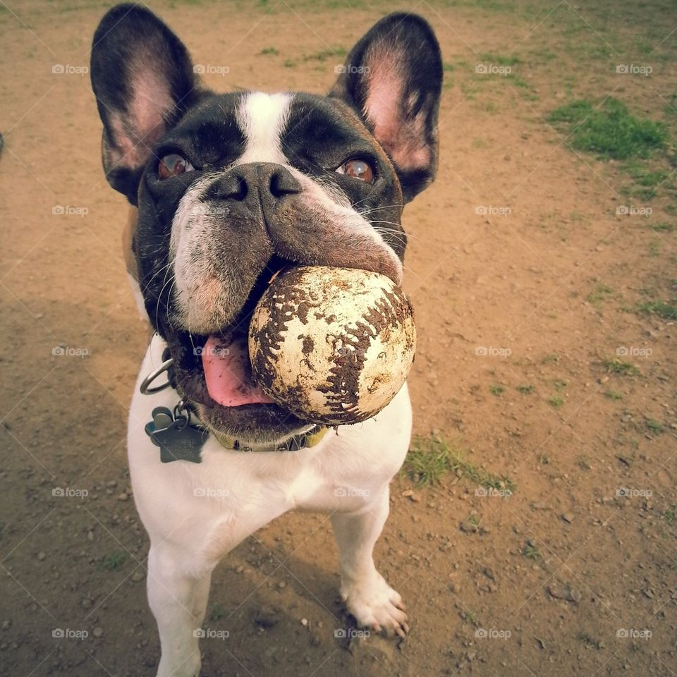 Close-up of dog carrying dirty ball