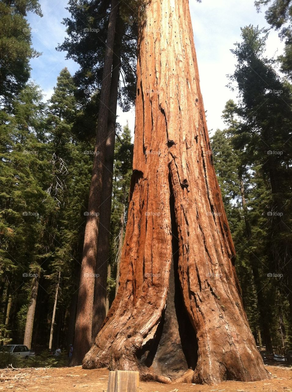 national park ca giants sequoia tree by NicoleVardi