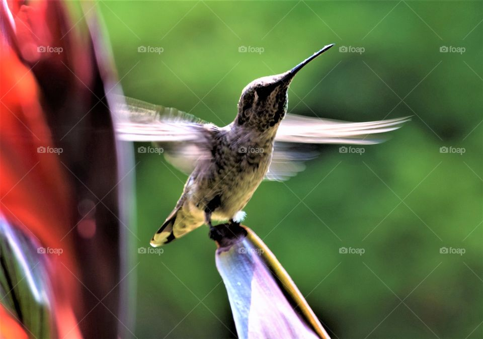 hummingbird standing on the tip of the leaf with its wings in in Motion August 11th 2017