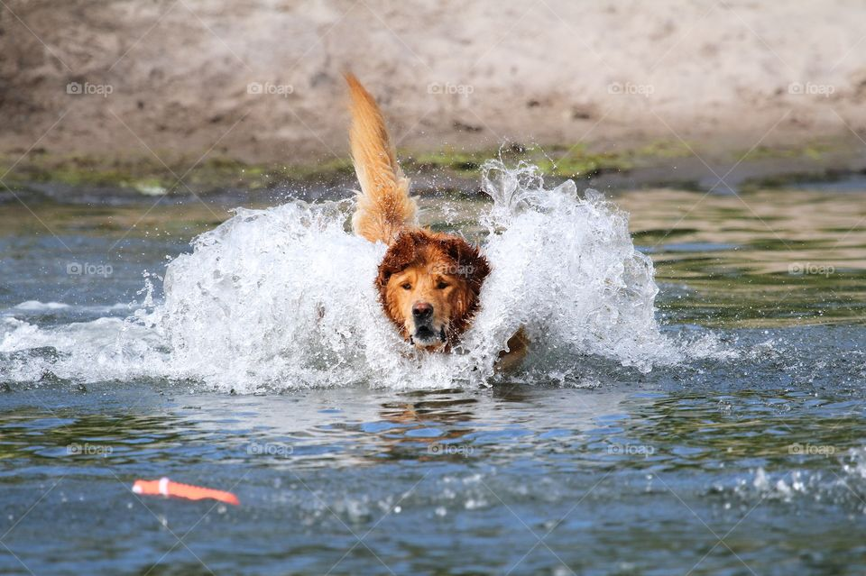 golden retriever jumping in the water