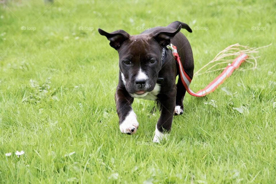 Cute happy little puppy dog running in the grass - gullig söt liten amstaff hundvalp springer i gräset