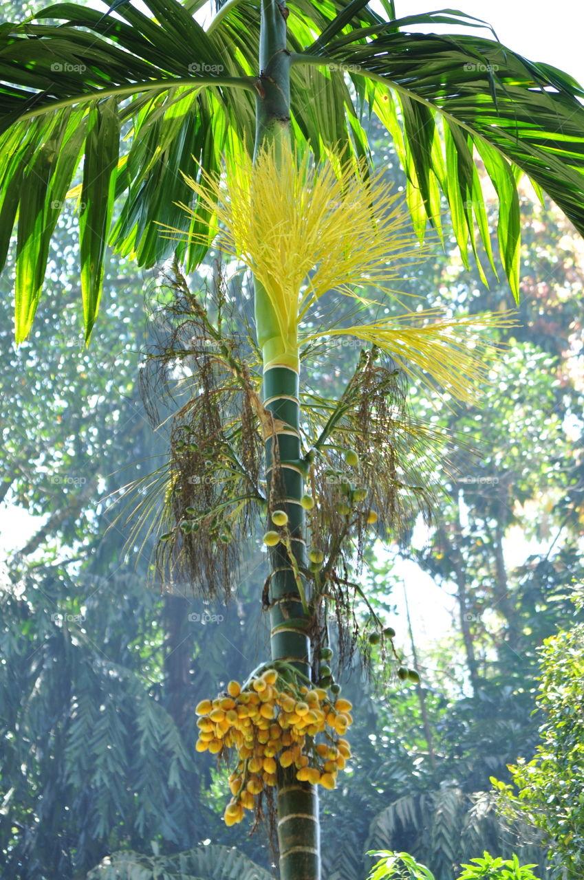 sri lankan areca palm with flower
