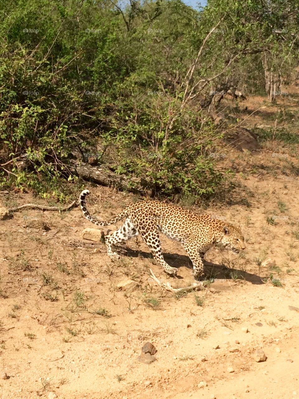 Lepard on the move