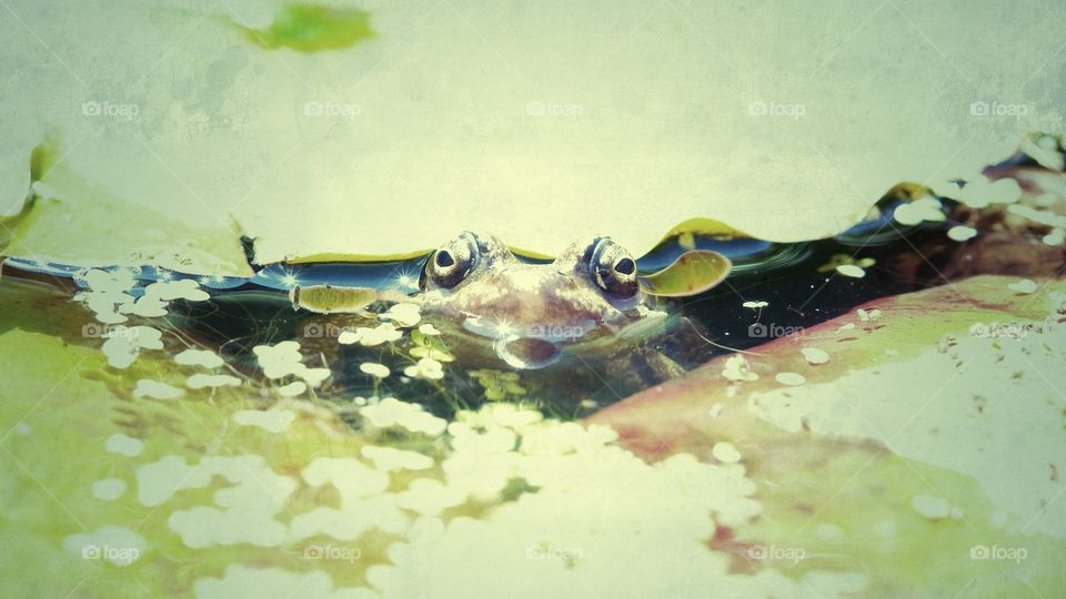 Pond life - frog in emerges from below lilly   . Pond life - frog in emerges from below lilly