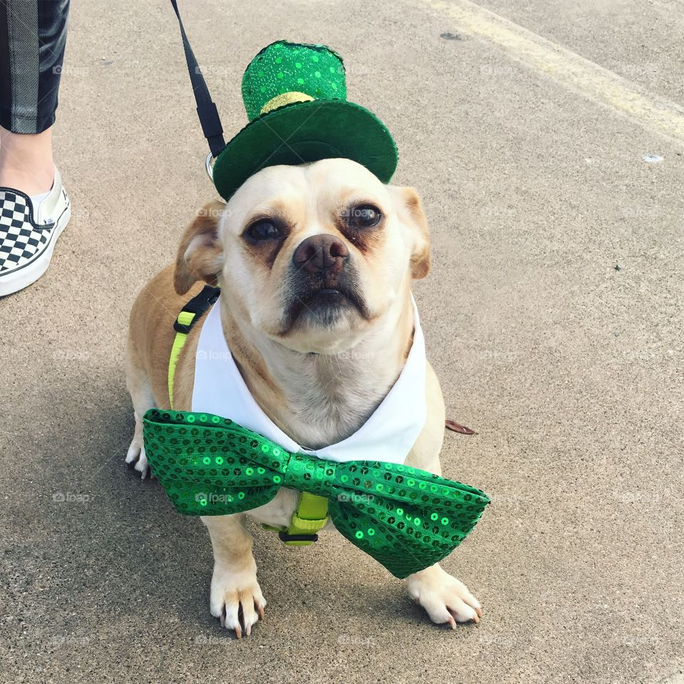 Parade puppy all dressed up for st. Patrick's day