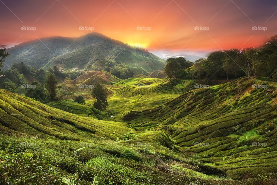 Sunset over the green tea plantation in Cameron Highlands, Malaysia
