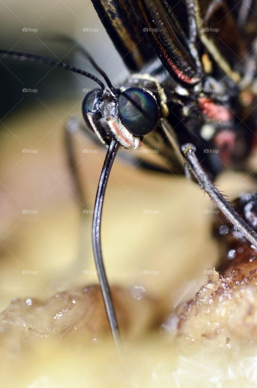 Macro butterfly drinking nectar