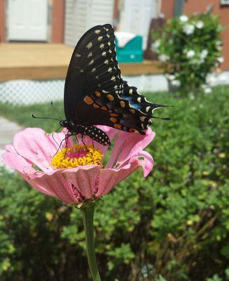 swallowtail & light pink zinnia