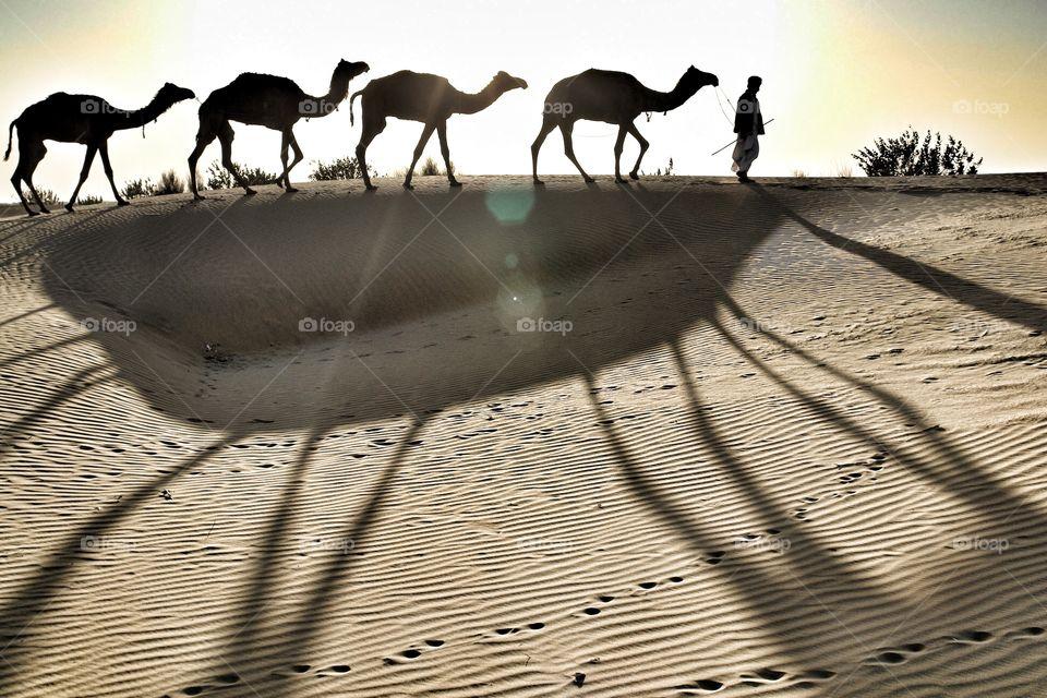 The desert trek . Man leads camels through Thar desert, India