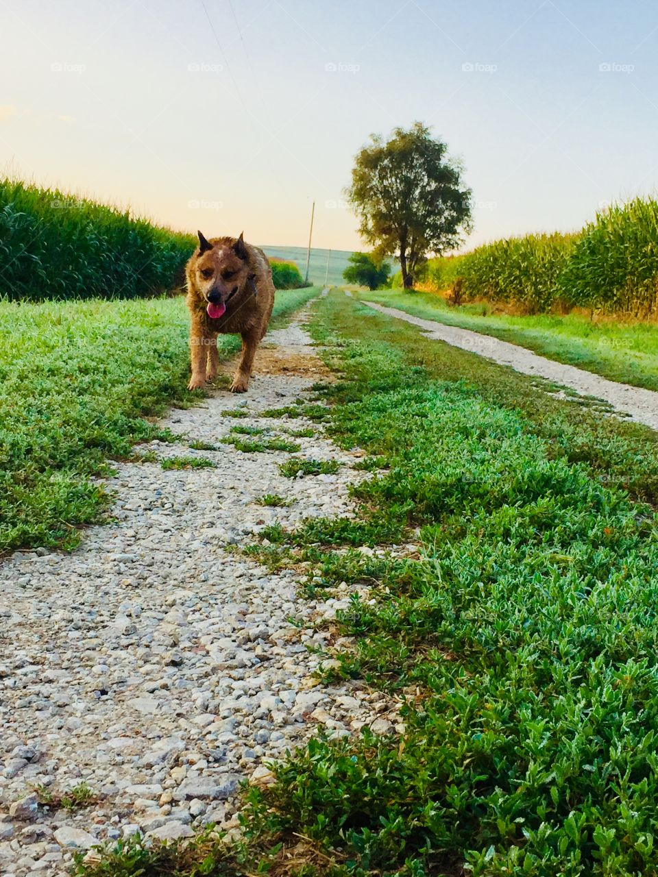 Low-level view of an Australian Cattle Dog / Red Heeler walking down a country lane with lush grass and cornfields on either side