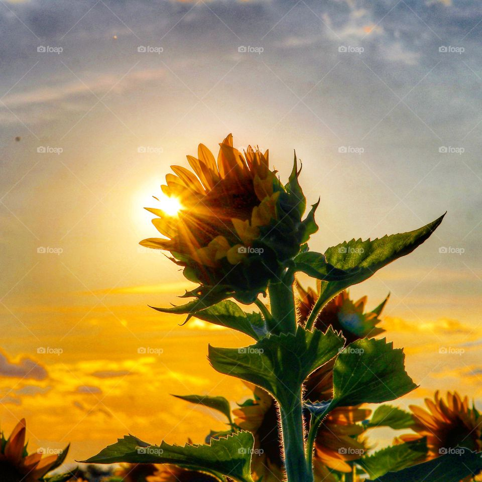 sunset in the sunflower field