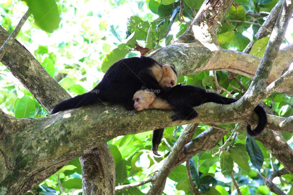 White-faced monkeys in Costa Rica