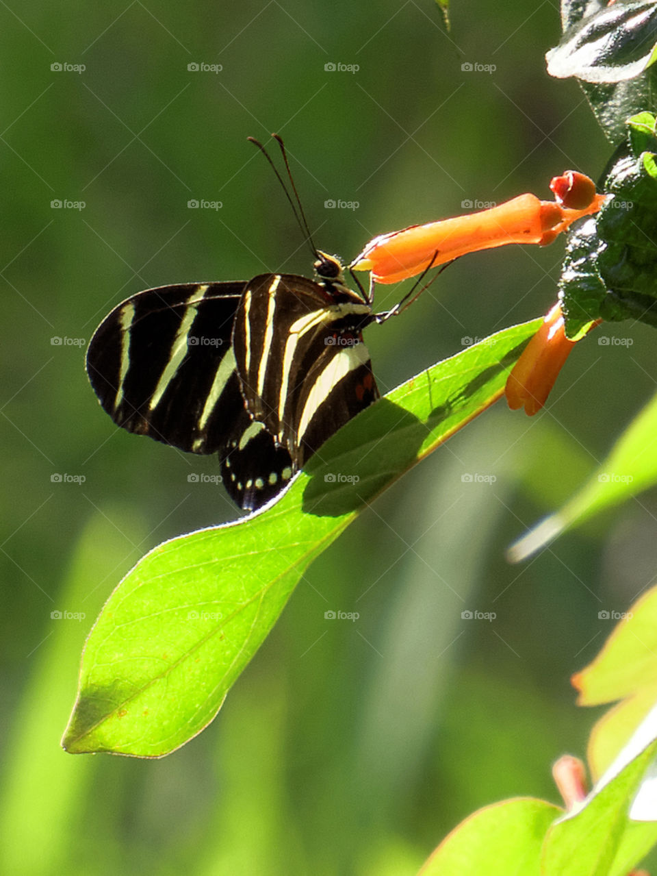 Nectar . Zebra Longwing Butterfly extracting nectar from flower on firebush plant in Florida