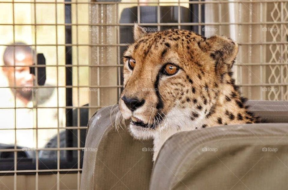Riding the jeep with Felix the Cheetah