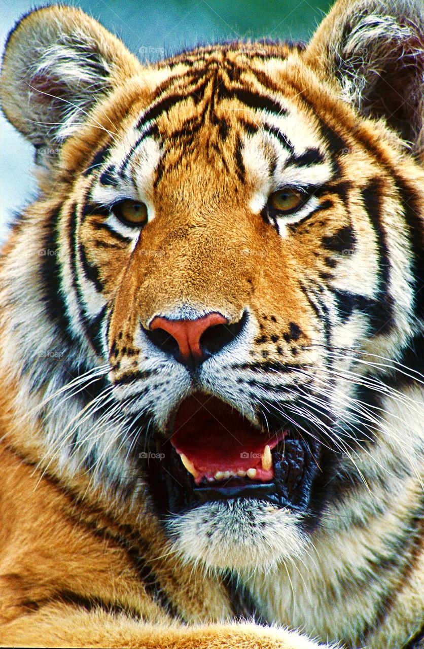 Close up facial portrait of a tiger.