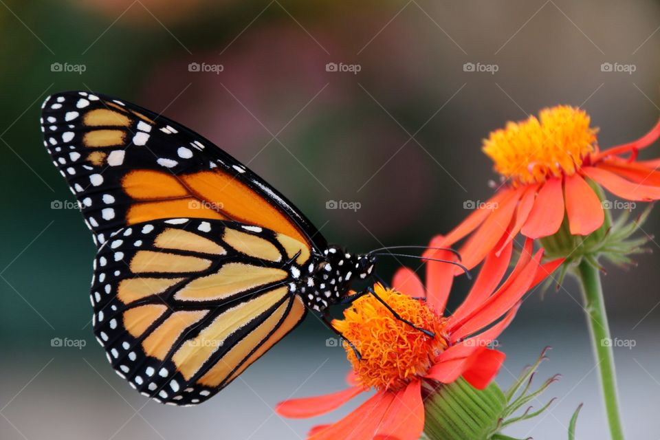 Macro closeup monarch butterfly wings folded on flower