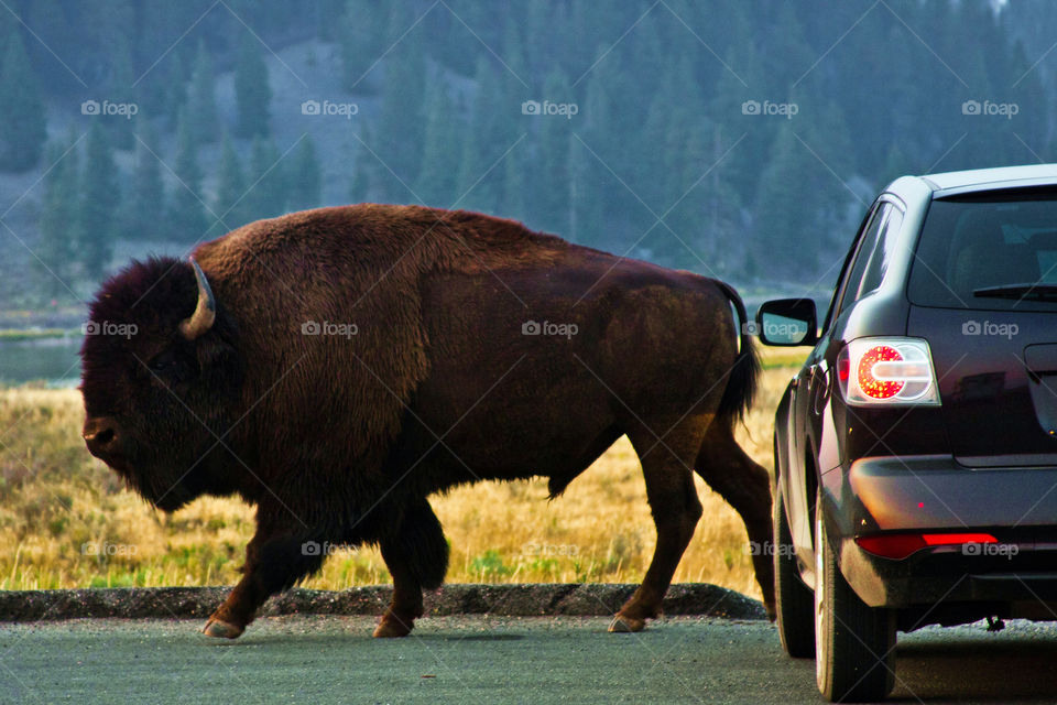 Giant buffalo in Yellowstone