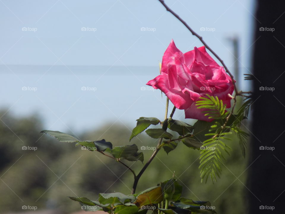 Pink rose blooming in the garden