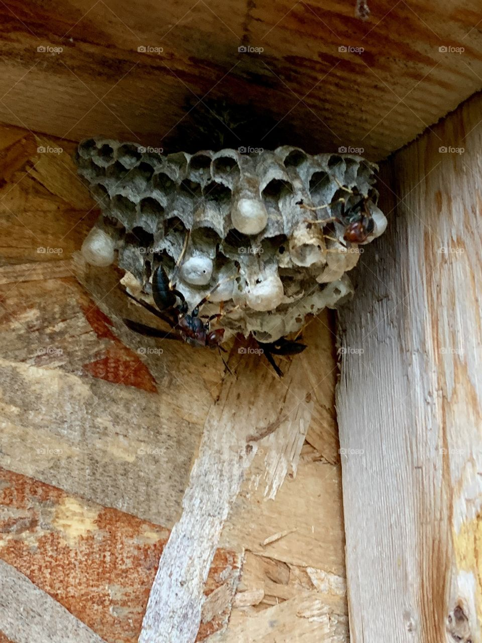 Wasps and nest in the corner of a wooden structure