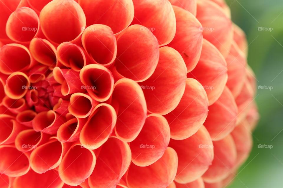 Detail of red dahlia flower