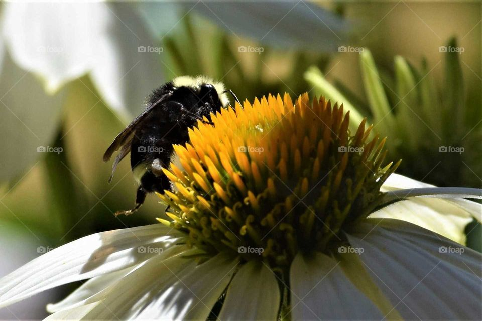 black and yellow bumblebee on white echinacea flower in the backyard June 22nd 2018