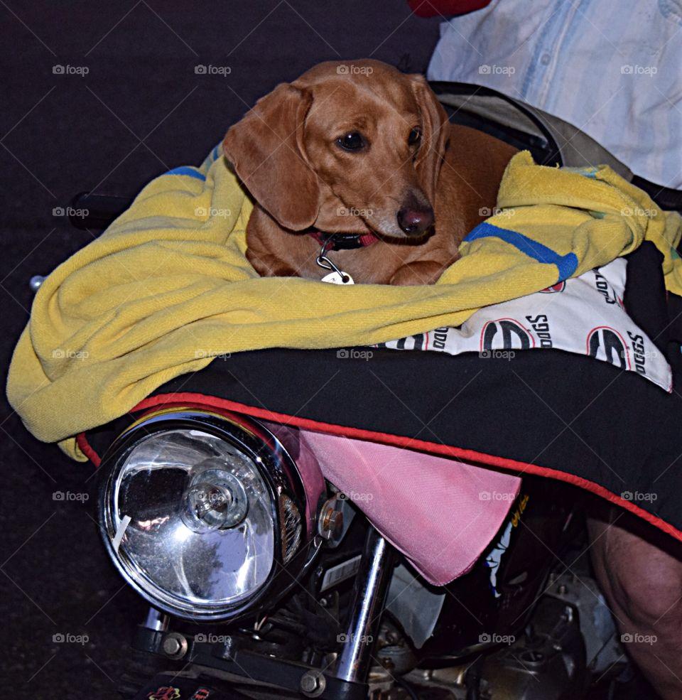 Dachshund on a motorbike