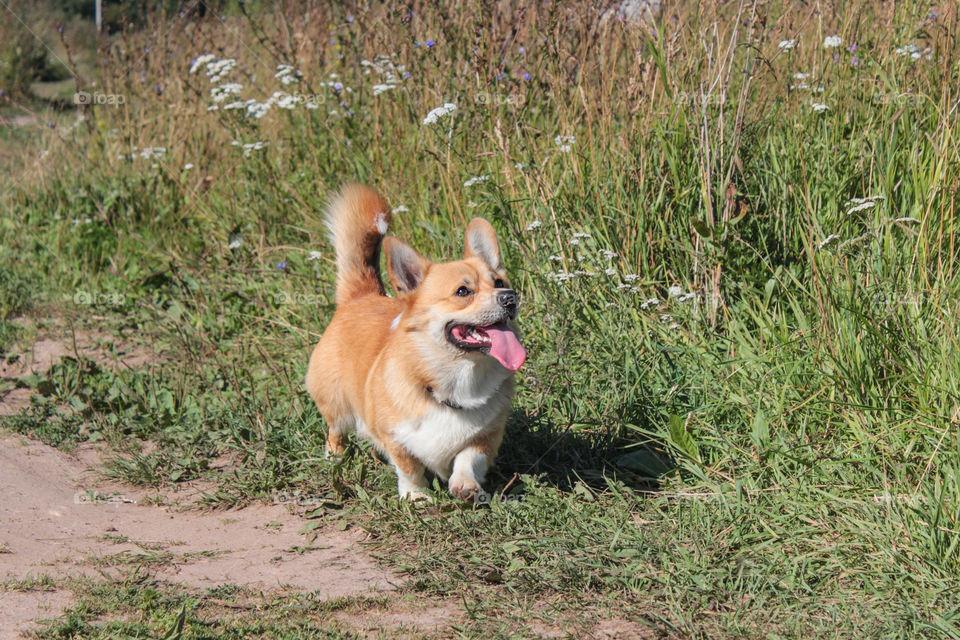 breed corgi dog walks on nature