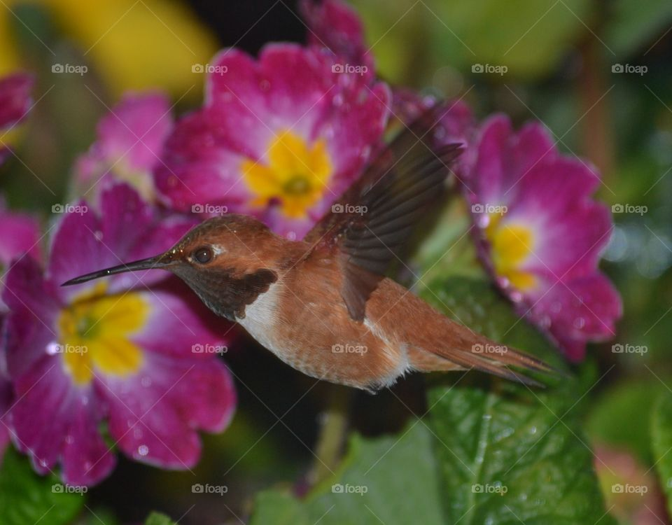 Rufous Hummingbird raindrop on its  head withpurple primroses . Rufous Hummingbird raindrop on its  head withpurple primroses