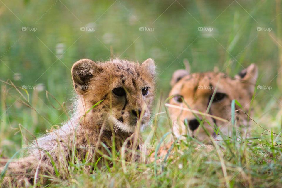 lovely cute baby cheetah family