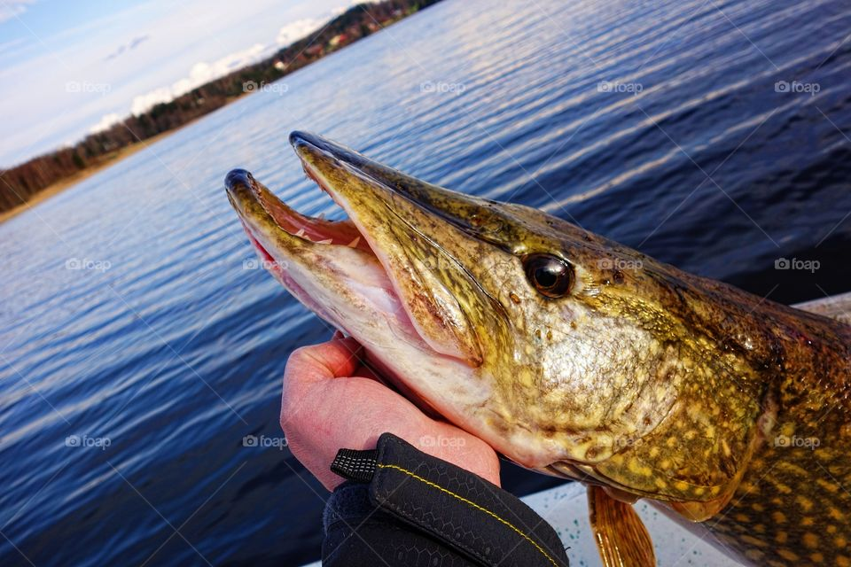 Hand holding large pike. A fisherman holding large size pike in hand before its release back to water on a lake in Finland in May evening.