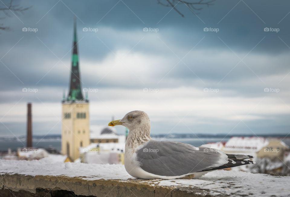 Estonia old city and seagull