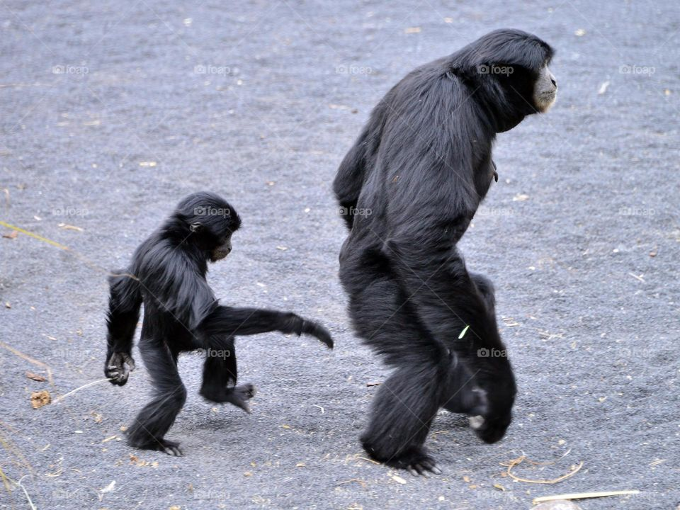 gibbons,  mother and son,  walking