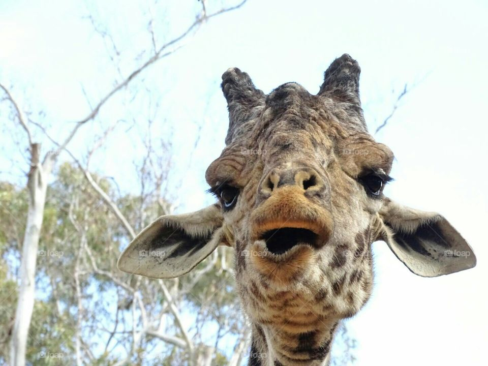 close up of Giraffe chewing