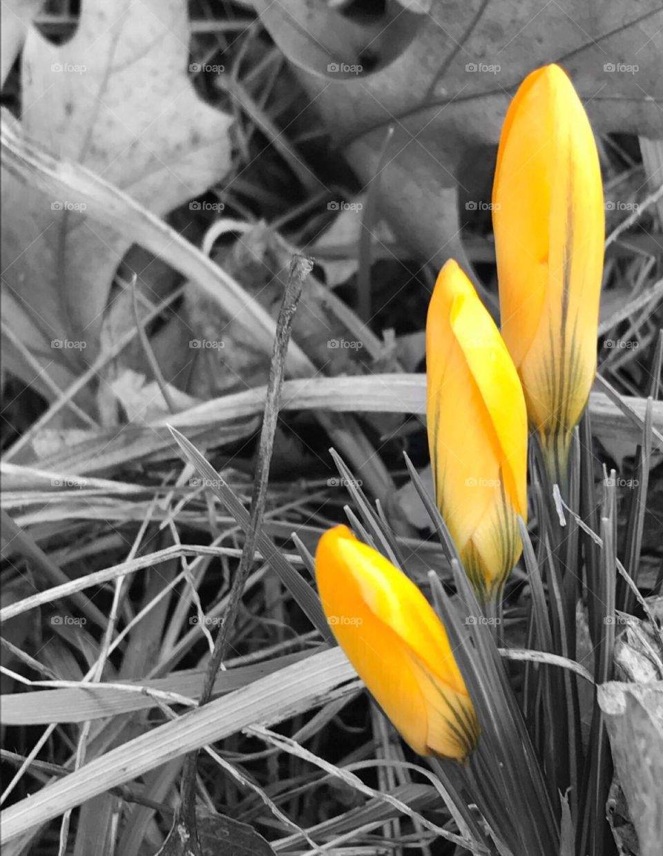 Black and white triple yellow crocus flowers