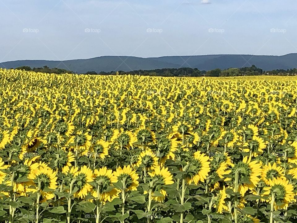 Rear view of a sunflower field /farm with Mountain View's Chambersburg Pennsylvania