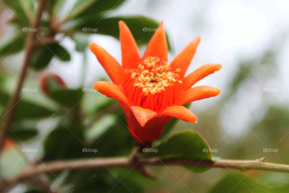 Pomegranate flower blooming at oudoors