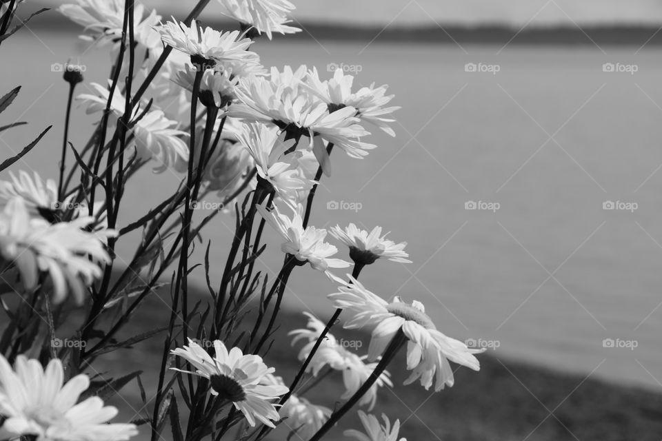 Daisies by the ocean, summertime...