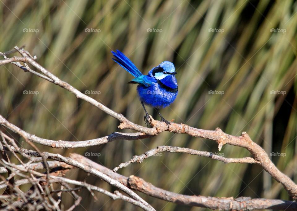 Splendid Fairy-wren blue