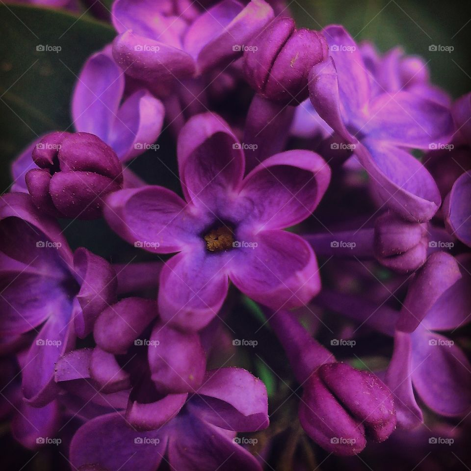lilac with five petals