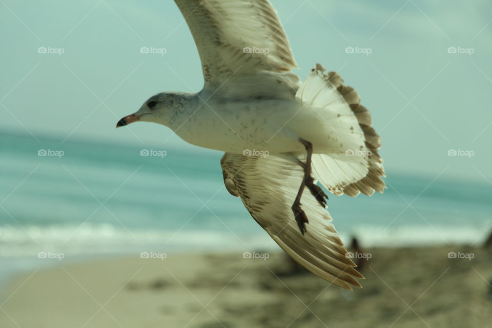 seagull . seagull flying in the beach