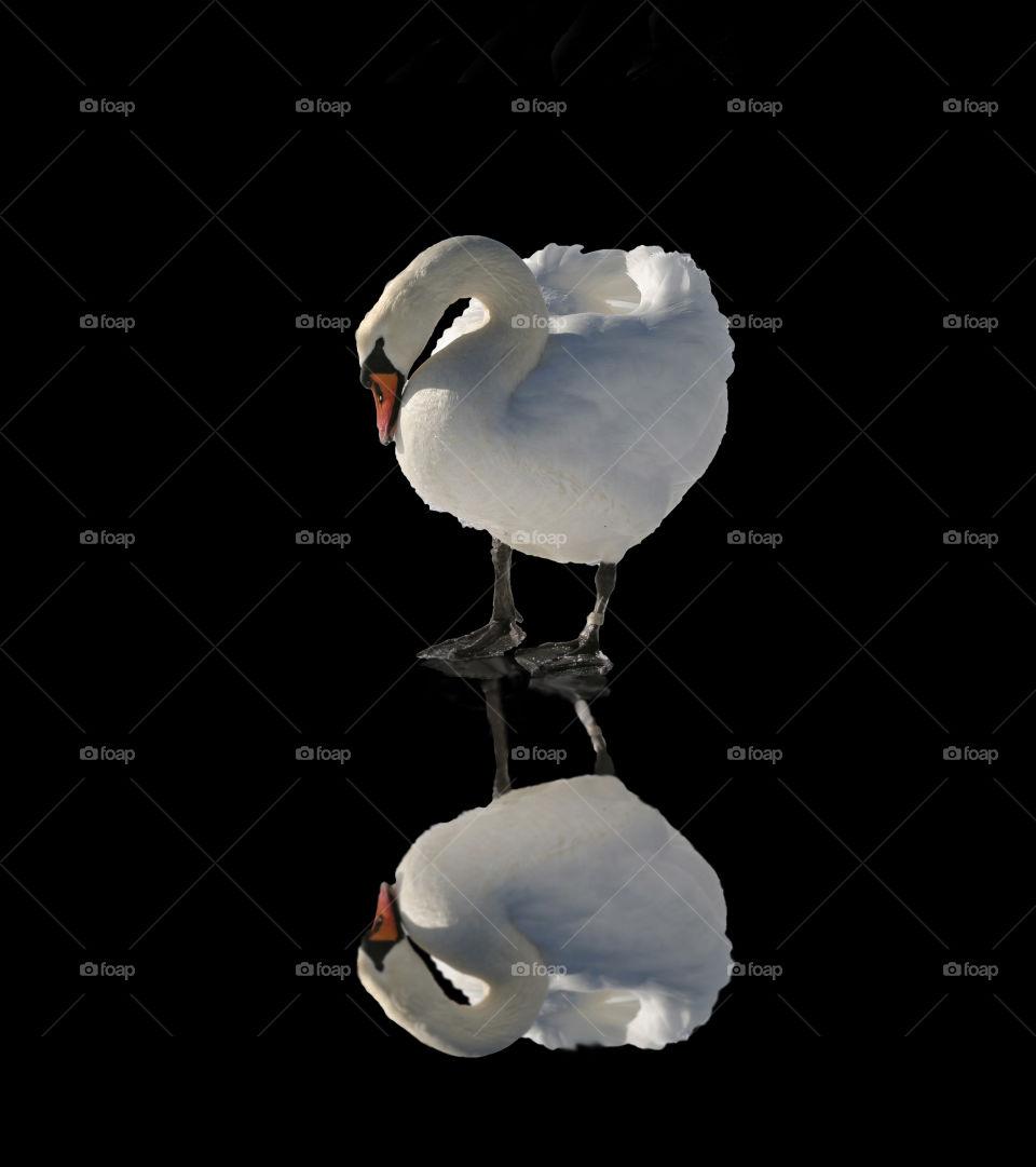 Swan on glossy floor.